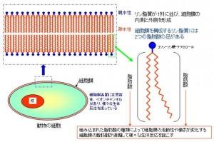 脂肪酸は細胞膜の構成要素です。細胞膜では、リン脂質が2列に並び細胞膜の内側と外側を形成しています
