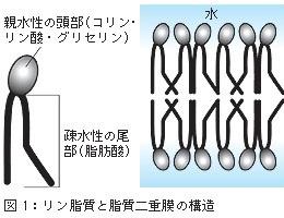 リン脂質と脂質二重膜の構造